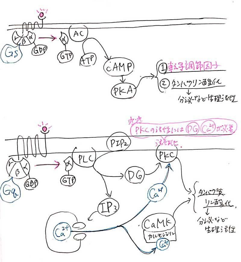 シグナル伝達と受容体